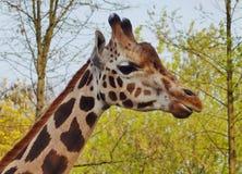 Giraffe camelopardalis - young giraffe Royalty Free Stock Photography