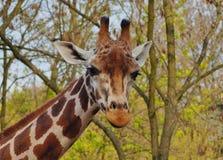 Giraffe camelopardalis - young giraffe Stock Image