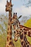 Giraffe camelopardalis - young giraffe Stock Photo