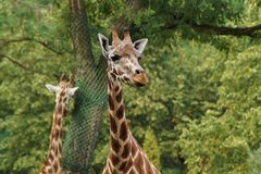 Giraffe camelopardalis - young giraffe in zoo Stock Photo