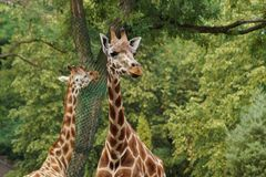 Giraffe camelopardalis - young giraffe in zoo Royalty Free Stock Photo