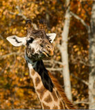 Giraffe in camouflage Stock Images