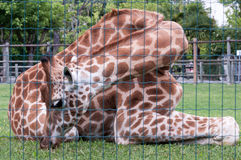 Giraffe  in captivity behind the grid Royalty Free Stock Photos