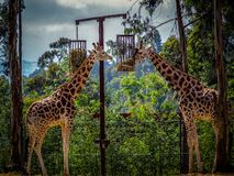 Giraffe in captivity. The giraffe is a genus of African even-toed ungulate mammals, the tallest living terrestrial animals and the largest ruminants. The genus royalty free stock photo