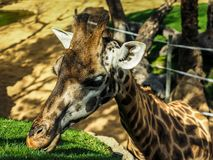 Giraffe in captivity. The giraffe is a genus of African even-toed ungulate mammals, the tallest living terrestrial animals and the largest ruminants. The genus stock photography