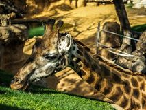 Giraffe in captivity. The giraffe is a genus of African even-toed ungulate mammals, the tallest living terrestrial animals and the largest ruminants. The genus royalty free stock images