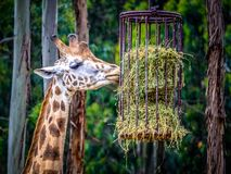 Giraffe in captivity. The giraffe is a genus of African even-toed ungulate mammals, the tallest living terrestrial animals and the largest ruminants. The genus stock images
