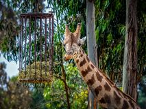 Giraffe in captivity. The giraffe is a genus of African even-toed ungulate mammals, the tallest living terrestrial animals and the largest ruminants. The genus royalty free stock photos