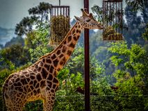 Giraffe in captivity. The giraffe is a genus of African even-toed ungulate mammals, the tallest living terrestrial animals and the largest ruminants. The genus stock photo