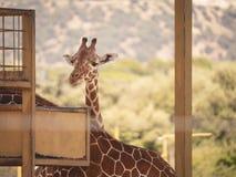 Giraffe in captivity looking at camera stock image