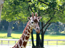 Giraffe in captivity Royalty Free Stock Images