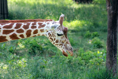 Giraffe in captivity Stock Images