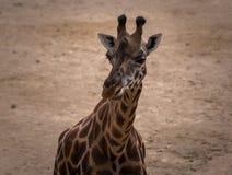 The giraffe stock image