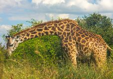 Giraffe captured in the wilderness royalty free stock photography