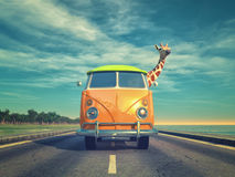 Giraffe by car on highway vector illustration