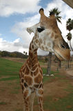 Giraffe at caravan. Giraffe looking at humans taking part in a wildlife caravan Stock Photo