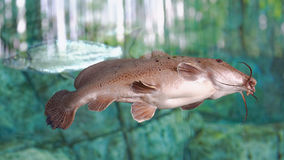 Giraffe catfish Stock Photography