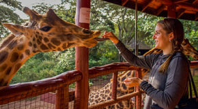 Giraffe Center. A place to take care of hurt animal near Nairobi in Kenya. Here, a visitor takes great pleasure to feed a giraffe Royalty Free Stock Images