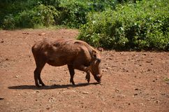 Giraffe Centre Nairobi Royalty Free Stock Photo