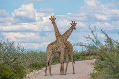 Giraffe che attraversano i colli Immagine Stock