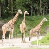 Giraffe che camminano avanti in un parco della fauna selvatica Fotografia Stock Libera da Diritti