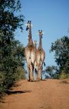 Giraffe che camminano giù la strada fotografie stock libere da diritti