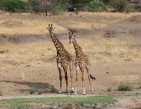 Giraffe che camminano nella savanna, Tanzania Fotografie Stock