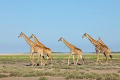 Giraffe che camminano sopra le pianure di Etosha Immagine Stock