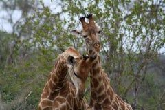 """Giraffe che giocano insieme in un modo divertente nel †""""Sudafrica della savanna Fotografie Stock"""