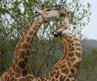 Giraffe che giocano insieme in un modo divertente nella savanna Fotografia Stock Libera da Diritti