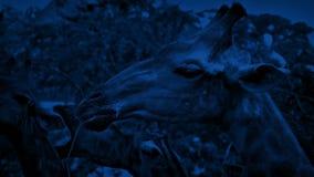 Giraffe che mangiano alla notte video d archivio