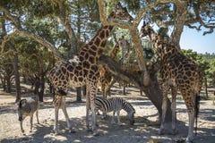 Giraffe che mangiano nella tonalità di un albero Fotografie Stock Libere da Diritti