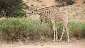 Giraffe che si alimentano un albero stock footage
