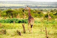 Giraffe che si levano in piedi nella savanna africana. Su safar Fotografia Stock Libera da Diritti