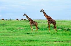Giraffe che si levano in piedi nella savanna africana. Sul safari. Immagine Stock Libera da Diritti