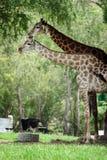 Giraffe che stanno sotto l'albero immagini stock libere da diritti