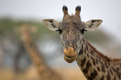 Giraffe. Chew the grass and looking into the camera lens Royalty Free Stock Photography