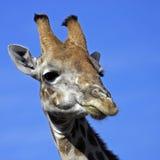 Giraffe chewing Stock Photo