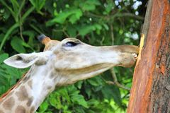 Giraffe chewing bark from a tree Stock Image