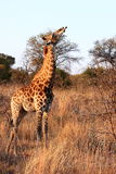 Giraffe chewing a bone Royalty Free Stock Photography