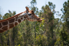 Giraffe chewing on a branch Stock Photos