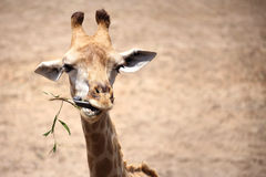 Giraffe Chewing Stock Photos