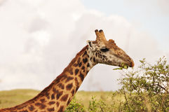 Giraffe chewing leaves Stock Photos