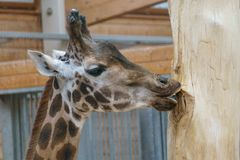 Giraffe chewing and licking at a tree royalty free stock image