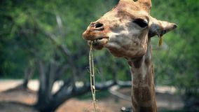 Giraffe Chewing Plants In Reserve stock video footage