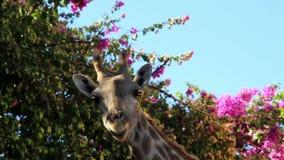 Giraffe chewing under a bougainvillea plant stock video