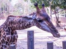 Giraffe in Chiangmai zoo. Royalty Free Stock Image