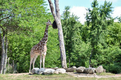 A giraffe in the Chicago Zoo, Illinois, USA Stock Images