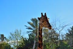 Giraffe. A giraffe chilling and sunbathing Stock Photo