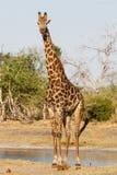 Giraffe - Chobe N.P. Botswana, Africa Stock Image